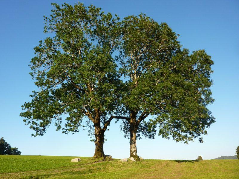 ash-tree-e1489418153515