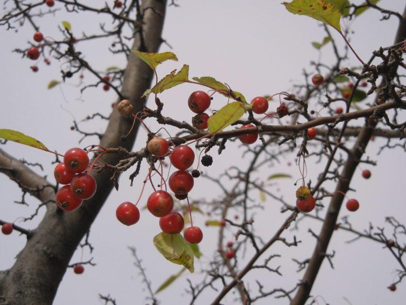 hawthorne-tree-e1489418231385