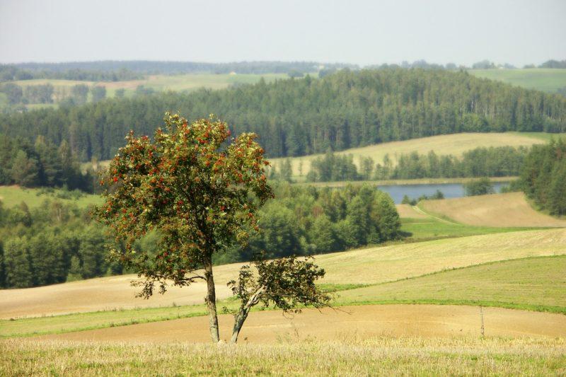 rowan-tree-e1489418137824