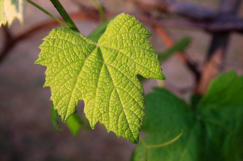 vine-leaf-657693_1280-e1489418319721
